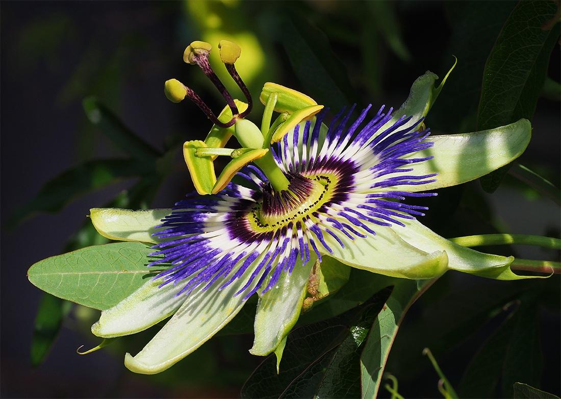 Crisina-Passiflora_caerulea