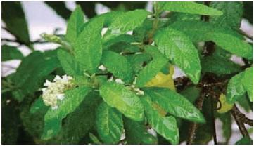 Planta Cordia verbenacea