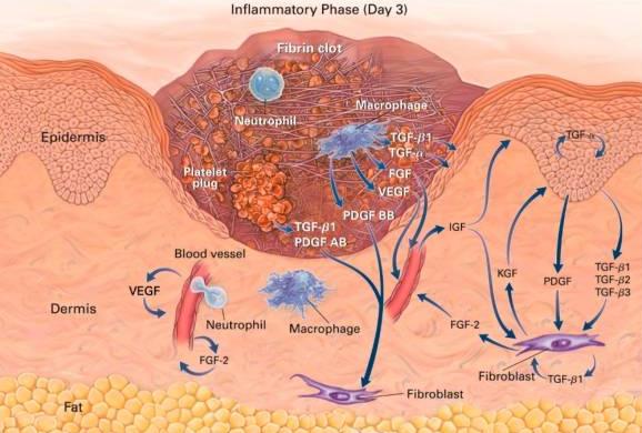 Fatores de crescimento sobre a inflamação