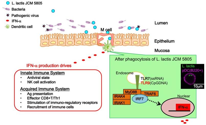 probioticos na imunidade