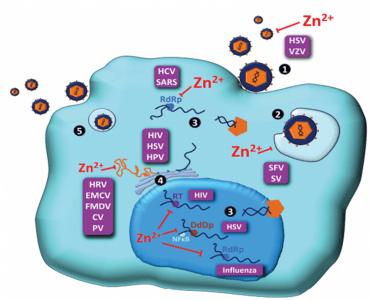 zinco e replicação viral