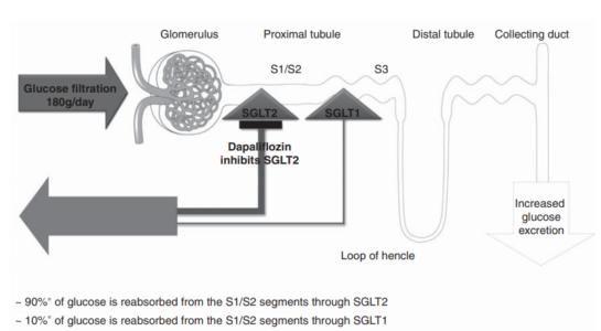 Modelo de mecanismo da dapagliflozina
