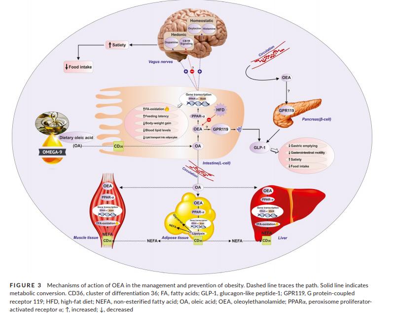 Metabolismo de OEA
